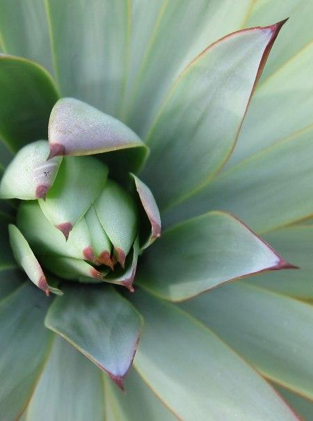 agave-closeup2