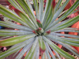agave-macro4