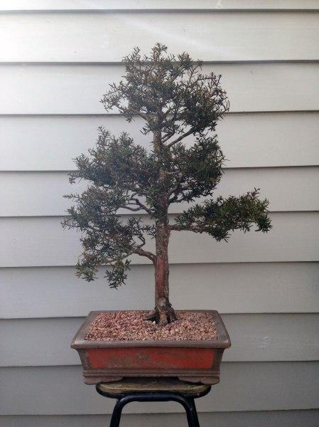 bonsai7a