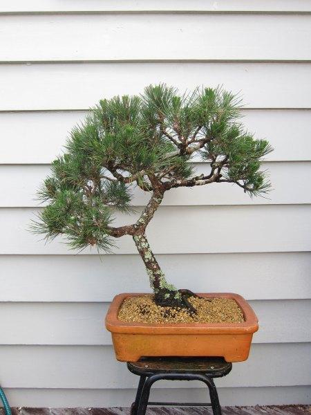 bonsai8a