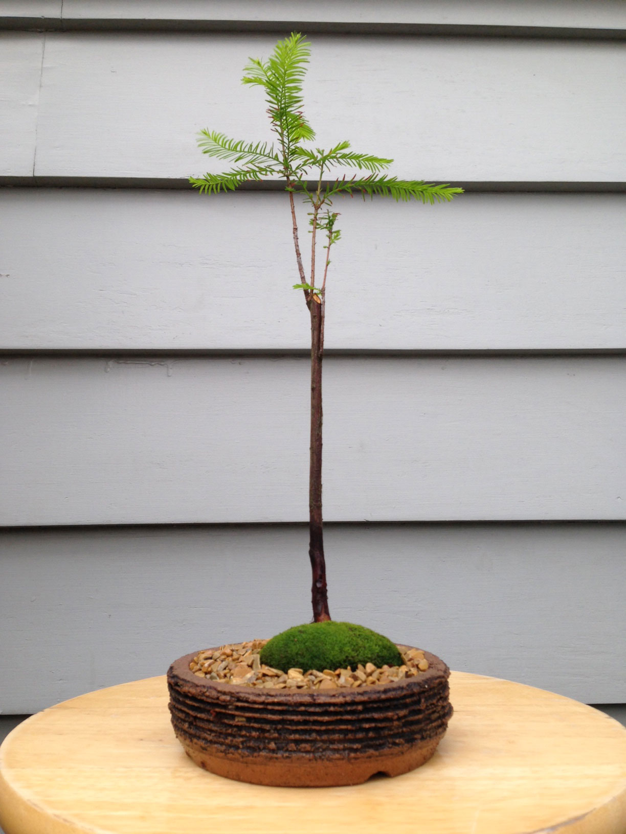 swamp cypress taxodium distichum plant workshop. Black Bedroom Furniture Sets. Home Design Ideas