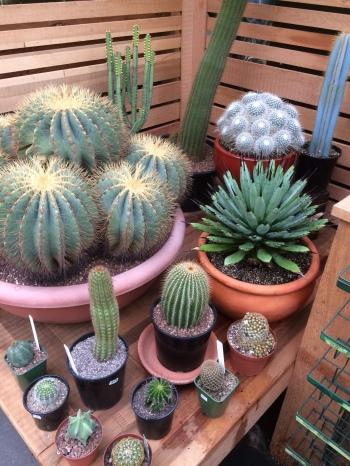 cacti1