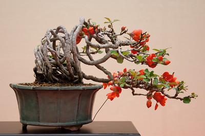 Keshiki No 103 Anomaly Chaenomeles Flowering Quince Plant Workshop