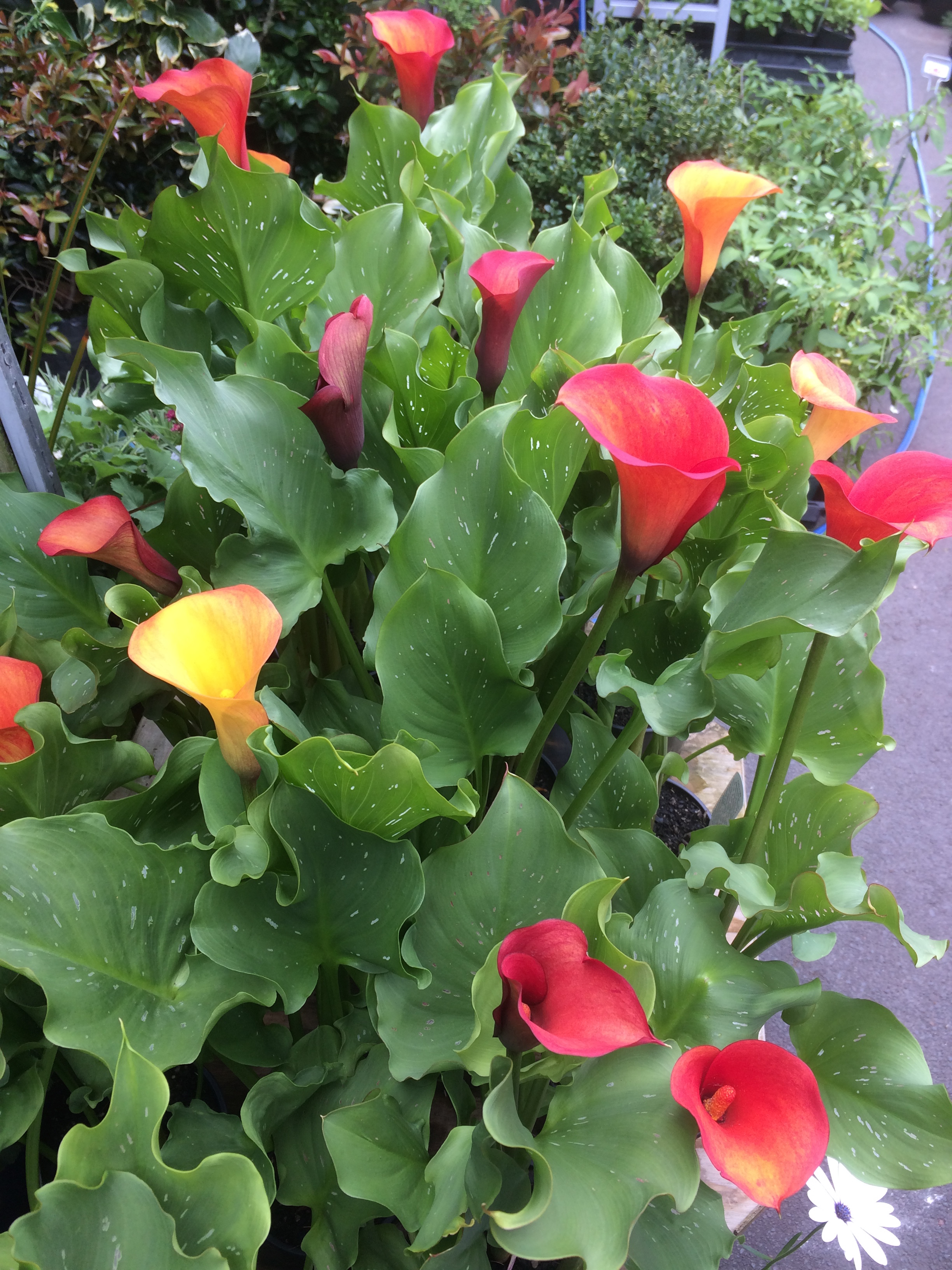 New Colour – Canna Lily