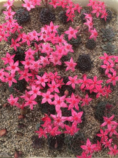 succ-flower
